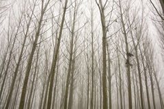 Forest in a foggy day. Spectral forest during winter in a day of fog Stock Photos