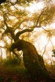 Forest Foggy Day röd ek, sekulära trän, natur, planetarium Arkivfoton