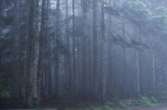 Forest in a Foggy Haze. Pacific Northwest Forest with tall pine trees in a cool fog near Mt. Rainier, Washington Stock Image