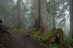 Forest in a Foggy Haze With Stump. Pacific Northwest Forest with tall pine trees and tree stump in a cool fog near Mt. Rainier, Washington Stock Photo