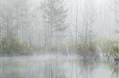 Forest at foggy morning Royalty Free Stock Images