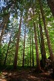 Forest foliage Slovenia Royalty Free Stock Image