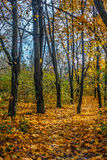 Forest in foliage on sunny autumn day. Tall trees with yellow and orange foliage in autumn forest on sunny day with blue sky Royalty Free Stock Photography