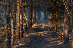 Forest. Footpath in a mistic forest, blue fog Royalty Free Stock Photography