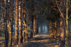 Forest. Footpath in a mistic forest, blue fog Stock Photo