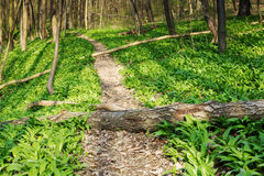 Forest with footpath Royalty Free Stock Image