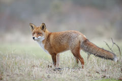Forest fox Stock Photography