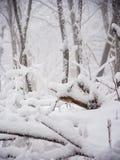 Forest After Fresh Snow Fall denso imagens de stock