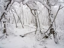 Forest After Fresh Snow Fall denso imagem de stock royalty free