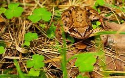 Forest frog . Stock Photo