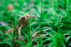 Forest frog Royalty Free Stock Photos
