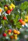 Forest fruit. Colorful madrone berries. Arbutus unedo Stock Photos