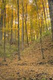 A forest ful of yelow autumn colors. Stock Images