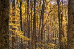 A forest ful of yelow autumn colors. Stock Photo
