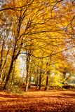 Forest in full autumn colour. Woodland floor covered in bright orange fall leaves and morning sunlight bursting through the trees Stock Photography