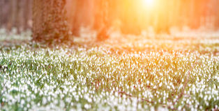 Forest full of snowdrop flowers in spring season. Stock Image