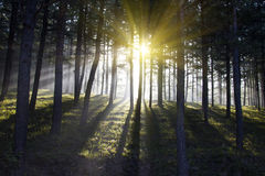 Forest full of sunshine Royalty Free Stock Image