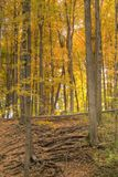 A forest full of yellow autumn colors. Royalty Free Stock Photo