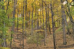 A forest full of yelow autumn colors. Royalty Free Stock Image