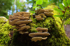 Forest Fungus. Tree trunk in the forest with fresh moss and fungus Stock Image
