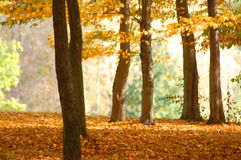 Forest and garden with golden leaves at fall. Autumn in the forest with golden leaves on trees Royalty Free Stock Images