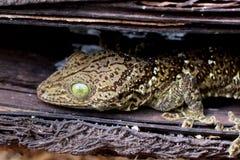 Forest Gecko fotografia stock libera da diritti