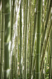 In a forest of giant bamboo Royalty Free Stock Photo