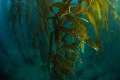 Forest of Giant Kelp in California Stock Images