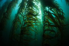 Forest of Giant Kelp in California Stock Photos