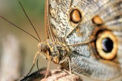Forest Giant Owl Butterfly Fotografering för Bildbyråer