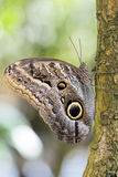 Forest Giant Owl butterfly (Caligo Eurilochus) Royalty Free Stock Photo