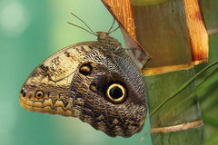 Forest giant owl butterfly Stock Photos