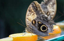 Forest Giant Owl Butterfly on an orange-Stock Photos royalty free stock images