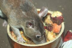 Forest giant pouched rat. In the food bowl Royalty Free Stock Photos
