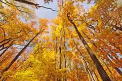 Forest Giants in Fall Foliage Stock Photos