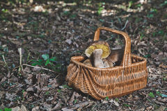 Forest gifts. White mushrooms in wicker basket Royalty Free Stock Images
