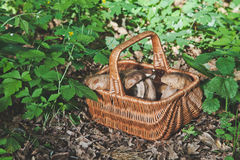 Forest gifts. White mushrooms in wicker basket Royalty Free Stock Photography