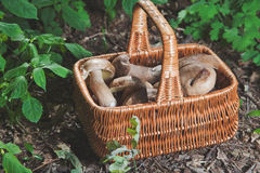 Forest gifts. White mushrooms in wicker basket Royalty Free Stock Photos