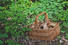 Forest gifts. White mushrooms in wicker basket Stock Images