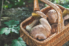 Forest gifts. White mushrooms in wicker basket Stock Photos