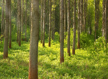 Forest Glade Covered by Green Plant with Ray of Sunlight Coming. Deep Forest Glade and Ray of Light Coming Through Stock Image