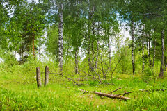 Forest Glade with fallen trees Stock Image