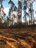 Forest Glade after felling Stock Images
