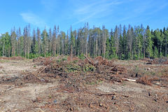 Forest glade after the felling of trees Stock Photography