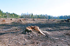 Forest glade after the felling of trees. In Russia royalty free stock photography