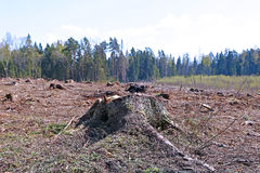 Forest glade after the felling of trees Royalty Free Stock Photos