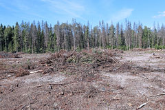 Forest glade after the felling of trees Royalty Free Stock Photo