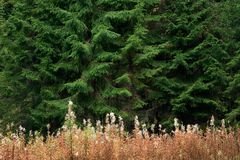 Forest glade with fireweed Stock Photo