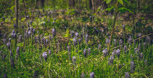 Forest glade with flowers of hyacinth Stock Photos