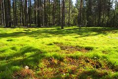 The forest glade lit with the sun. A bright green moss on a forest glade in Karelia, Russia. Summer sunny day in the wood Royalty Free Stock Photo